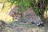 Cheetah_Cubs_Mara_Kenya_Asilia_20150037