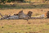 Cheetah_Cubs_Mara_Kenya_Asilia_20150191