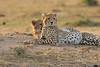 Cheetah_Cubs_Mara_Kenya_Asilia_20150250