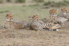 Cheetah_Family_Portraits_Mara_Kenya_Asilia_20150038