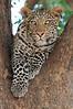 Leopard_Mashatu_Botswana0065