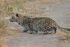 Leopard_Mashatu_Botswana0071