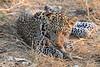 Leopard_Squirrel_Mashatu_Botswana0061