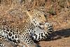 Leopard_Mashatu_Botswana0048