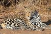 Leopard_Mashatu_Botswana0051
