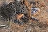 Leopard_Squirrel_Mashatu_Botswana0041