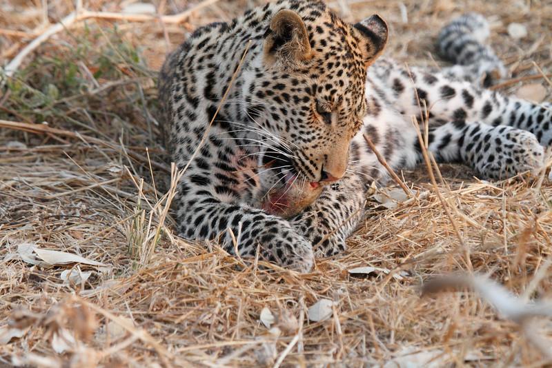 Leopard_Squirrel_Mashatu_Botswana0101