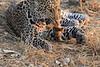 Leopard_Squirrel_Mashatu_Botswana0040