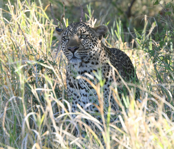 Leopard looking for lunch.  Kleins Camp Tanzania.