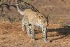 Leopard_Mashatu_Botswana0039