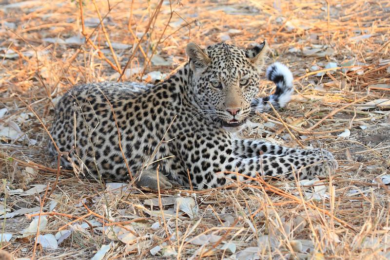 Leopard_Squirrel_Mashatu_Botswana0022