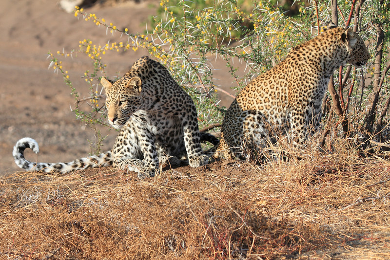 Leopard_Mashatu_Botswana0031