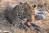 Leopard_Squirrel_Mashatu_Botswana0058