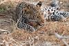 Leopard_Squirrel_Mashatu_Botswana0100