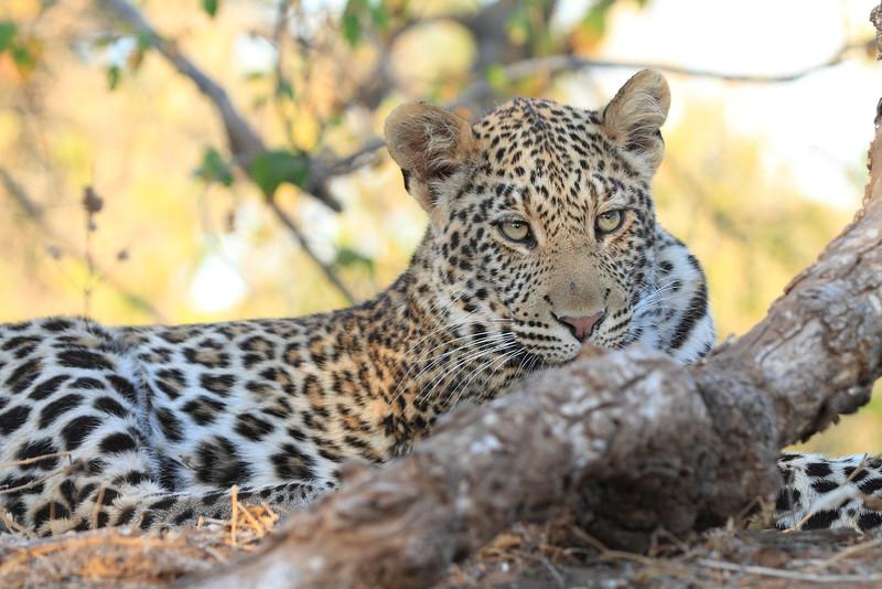 Leopard_Mashatu_Botswana0077