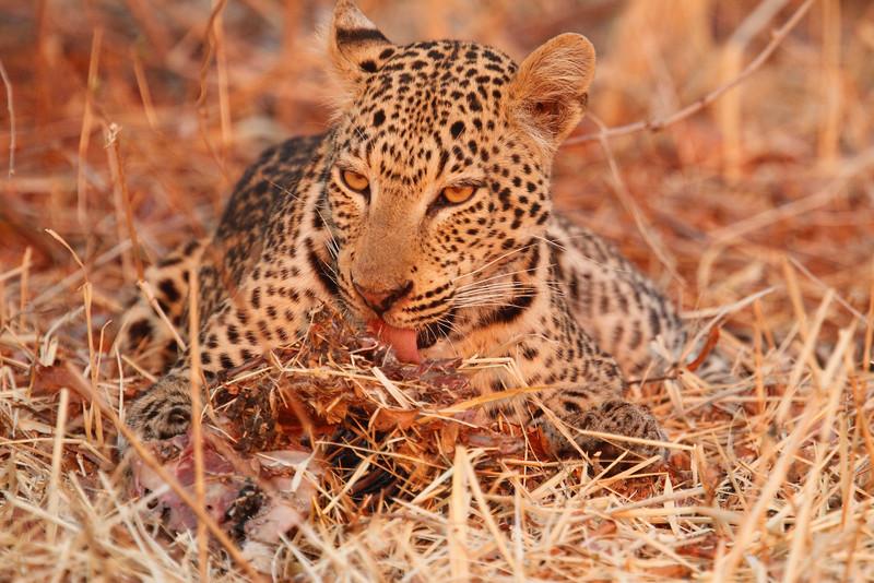 Leopard_Kaingo_Zambia0023