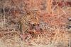 Leopard_Kaingo_Zambia0010