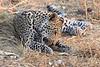 Leopard_Squirrel_Mashatu_Botswana0072