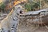Leopard_Mashatu_Botswana0073