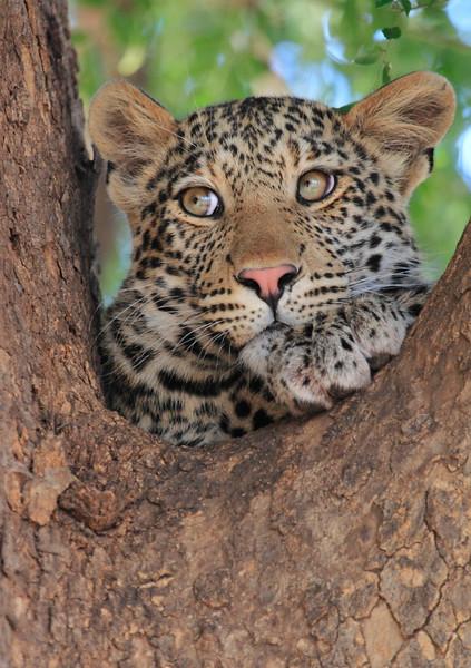 Leopard_Mashatu_Botswana0061