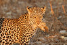 Leopard_Squirrel_Mashatu_Botswana0006