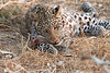 Leopard_Squirrel_Mashatu_Botswana0093
