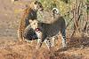 Leopard_Mashatu_Botswana0018