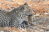 Leopard_Squirrel_Mashatu_Botswana0023