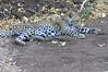 Leopard_Mashatu_Botswana0075