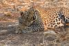 Leopard_Squirrel_Mashatu_Botswana0013
