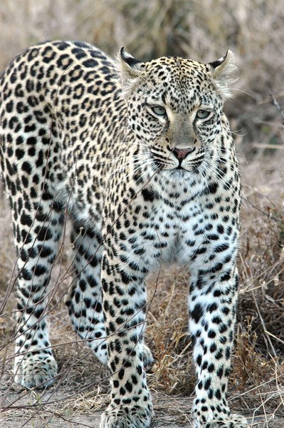 Leopard Londolozi South Africa