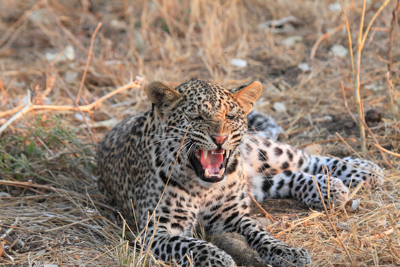 Leopard_Squirrel_Mashatu_Botswana0086