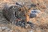 Leopard_Squirrel_Mashatu_Botswana0060
