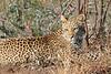Leopard_Mashatu_Botswana0057