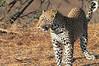 Leopard_Mashatu_Botswana0024