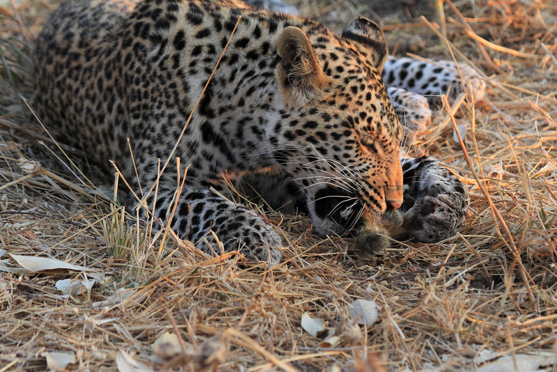 Leopard_Squirrel_Mashatu_Botswana0039