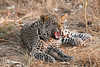 Leopard_Squirrel_Mashatu_Botswana0081