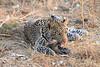 Leopard_Squirrel_Mashatu_Botswana0079