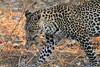 Leopard_Squirrel_Mashatu_Botswana0017