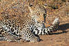 Leopard_Mashatu_Botswana0045