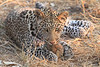 Leopard_Squirrel_Mashatu_Botswana0053