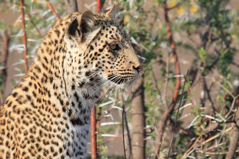 Leopard_Mashatu_Botswana0056