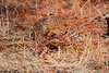 Leopard_Kaingo_Zambia0014