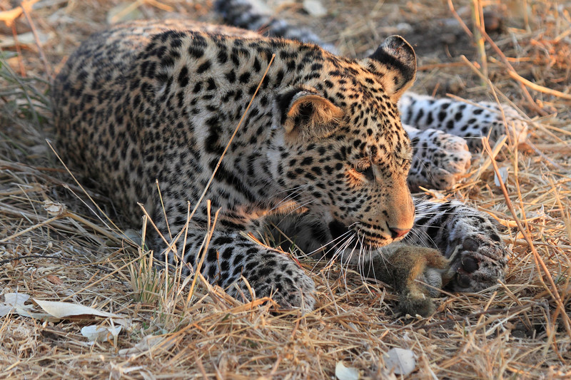 Leopard_Squirrel_Mashatu_Botswana0038