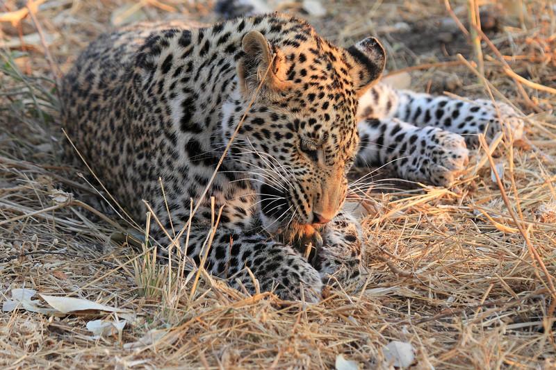 Leopard_Squirrel_Mashatu_Botswana0043