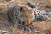 Leopard_Squirrel_Mashatu_Botswana0090