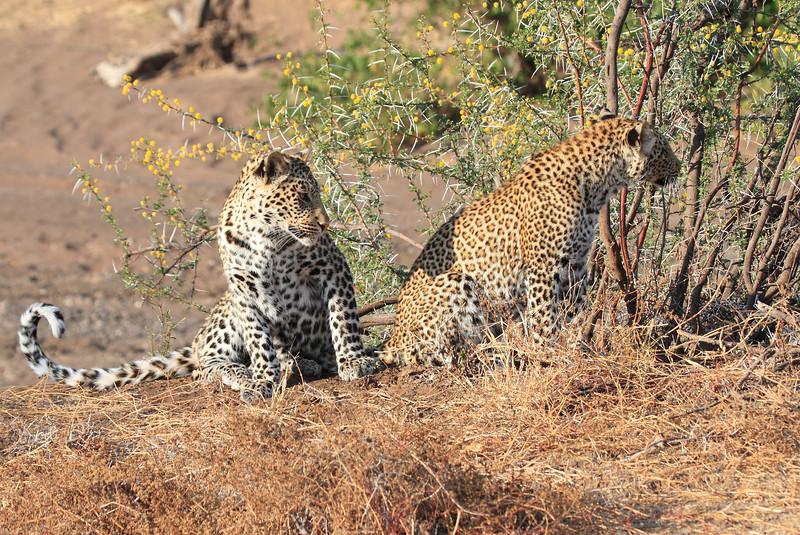Leopard_Mashatu_Botswana0030