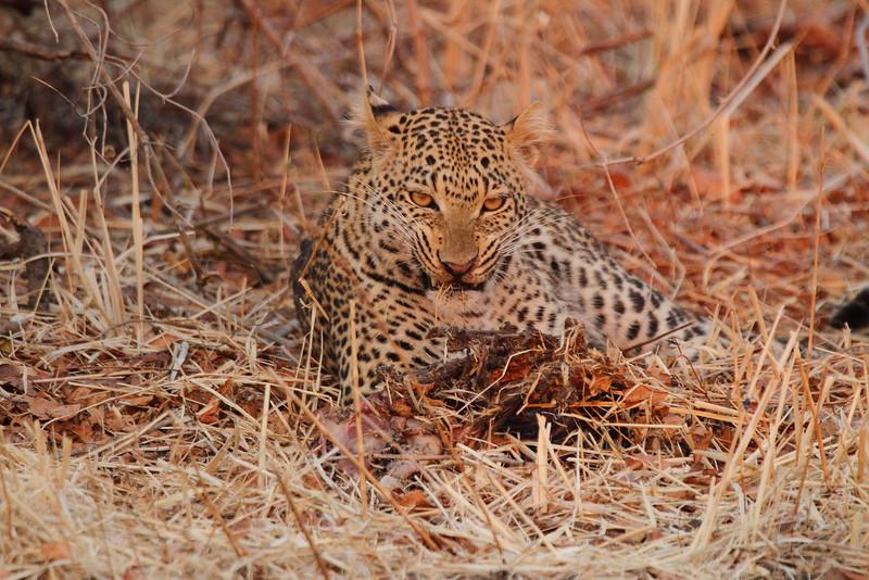 Leopard_Kaingo_Zambia0006