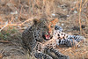 Leopard_Squirrel_Mashatu_Botswana0087