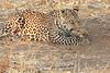 Leopard_Squirrel_Mashatu_Botswana0001